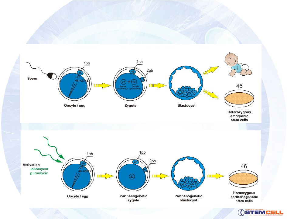 ap lang embryonic stem cell research Related topics: stem cell research, isolation and maintenance of stem cells,   analysis of stem cells, and stem cells in therapeutics and research  2010,  lang et al  bodies other advantages of a.
